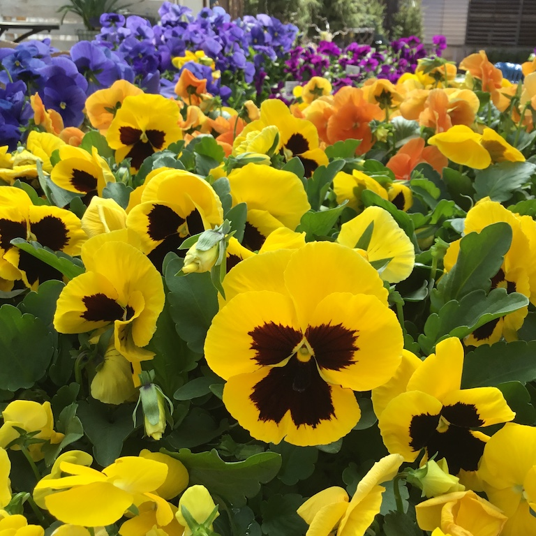 Pansies Love Our Cool Spring Weather
