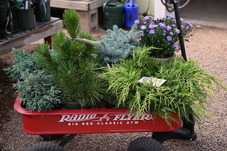 Evergreens for Winter Patio Pots