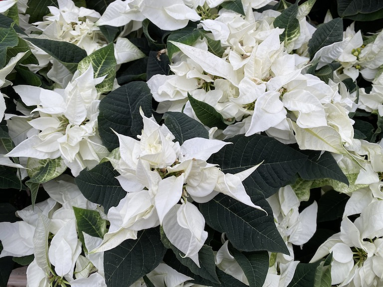 New poinsettia Princettia Pure White