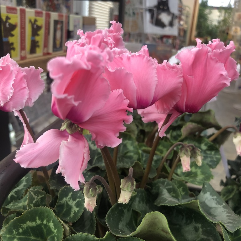 Gorgeous ruffled pink cyclamen