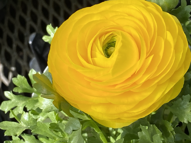 Yellow ranunculus at Sturtz and Copeland in Boulder, CO