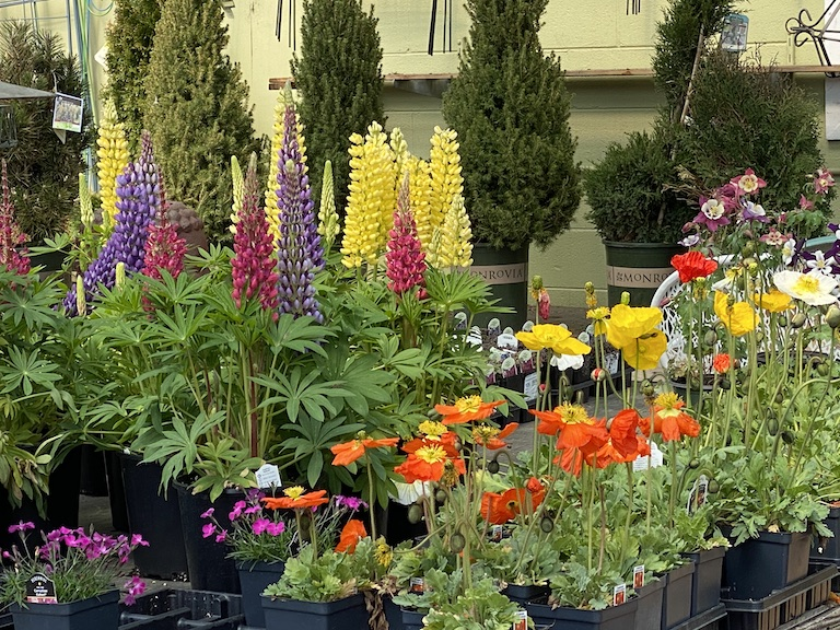 Lupine and Poppy Plants at Sturtz and Copeland