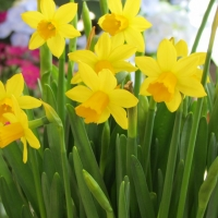 20% Off Daffodils, Tulips, Hyacinths and Crocus Bulbs