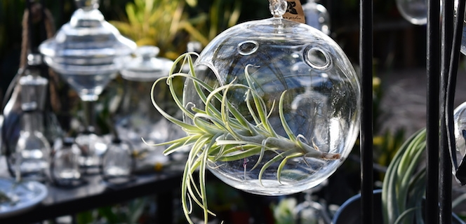 Air plants in hanging glass containers