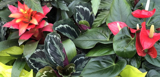 Anthuriums, bromeliads and maranta plants at Sturtz and Copeland